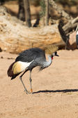 Black-crowned Crane - Balearica pavonina — Stock Photo
