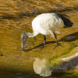 Sacred ibis — Stock Photo #37292391