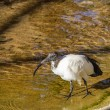 Sacred ibis — Stock Photo #37292393