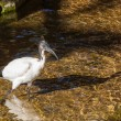 Sacred ibis — Stock Photo #37292395