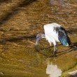 Sacred ibis — Stock Photo #37292399