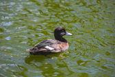 Tufted 鸭,由天 fuligula — 图库照片
