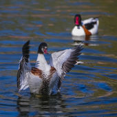 Wild goose flying (tadorna tadorna) — Stock Photo