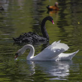 The red bill black swan on the water — Stock Photo