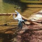 Yellow billed stork, (Mycteria ibis) — Stock Photo #49710403