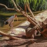 Yellow billed stork, (Mycteria ibis) — Stock Photo #49710423