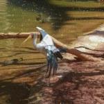 Yellow billed stork, (Mycteria ibis) — Stock Photo #49710431