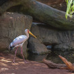 Yellow billed stork, (Mycteria ibis) — Stock Photo #49710633