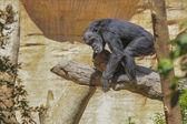Relax Gorilla — Foto Stock