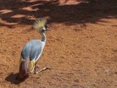Grey Crowned Crane (Balearica Regulorum). — ストック写真