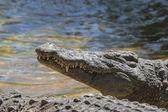 Nile Crocodile or Common Crocodile  — Stock Photo