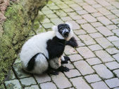Close-up of a Black and White Ruffed Lemur — Stock Photo