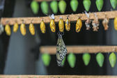 Papillon citron vert — Photo
