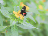 Papilio rumanzovia. — Stock Photo