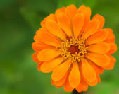 Close-zinnia. — Stock Photo