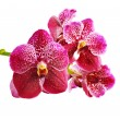 Vanda red. — Stock Photo