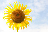 Sunflower. — Stock Photo