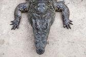 Crocodile. — Foto Stock