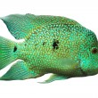 Cichlid. — Stock Photo
