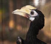 Hornbill. — Stock Photo