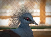 Victoria crowned pigeon. — Stock Photo
