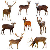 Collection of deer. — Stock Photo