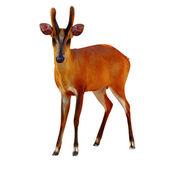 Barking deer. — Stock Photo