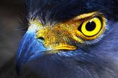 Serpent-Eagle. — Stock Photo