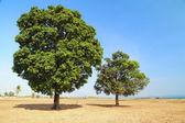 Mature trees. — Stock Photo