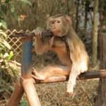 Monkey. — 图库照片