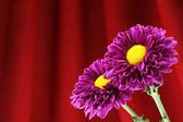 Chrysanthemum. — Stock Photo