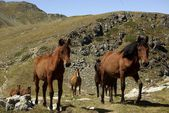 Wil horses, Rila mountains, Bulgaria — Stock Photo