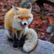 Red fox — Stock Photo #37806667