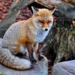 Red fox — Stock Photo #37806675
