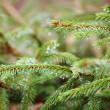 Spruce tree — Stock Photo #36522919