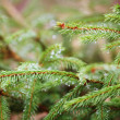 Spruce tree — Stock Photo