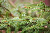 Spruce trädet — Stockfoto