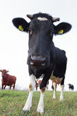 Cow in the fields — Stock Photo