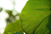 The sun is blocked by Lotus leaf, — Stock Photo