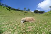 овца в прерии на cingjing ферме — Стоковое фото