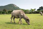 Swamp buffalo (Domestic Buffalo) ,the hard worker in asian rice filed. — Stock Photo