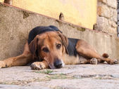 Elba Island, sweet and quiet dog — Foto de Stock