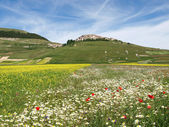 Castelluccio di Norcia. Cultivation of lentils — Stock Photo