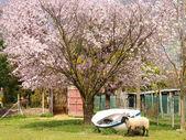 Pecore in una penna — Foto Stock