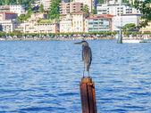 Cormorant — Foto Stock