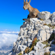 Capricorn female lying on mountain top — Stock Photo