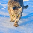 Cat stalking in snow — Stock Photo #36602781