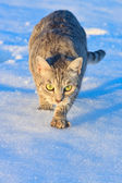 Cat stalking in the snow — Stock Photo