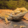 Adult bearded dragon — Foto de Stock