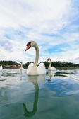 Swans swimming in the lake — Stock Photo